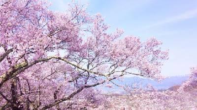桜の木の画像