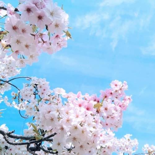 桜の季節2021